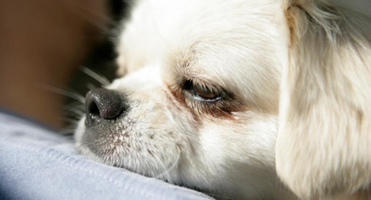 Trött hund vilar på husses axel.