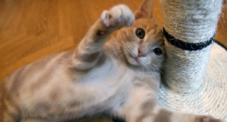 katt som klöser