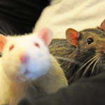 hur länge är en mus dräktig