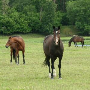 hästar på bete