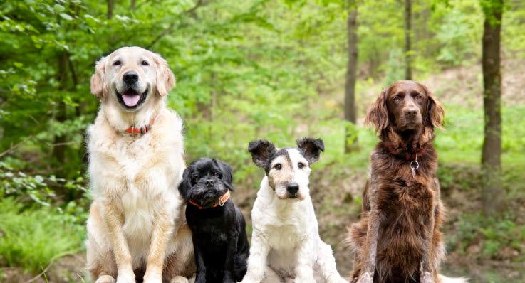 Fyra hundar i olika storlekar, från liten till stor.