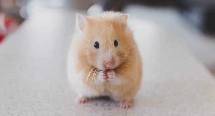 hur mycket kostar en hamster
