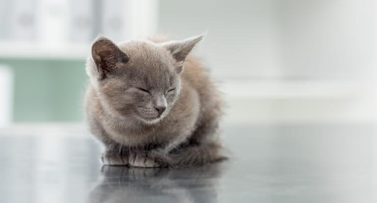 kattungar mat hur ofta