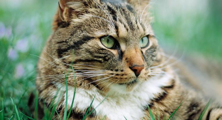 grumliga ögon katt