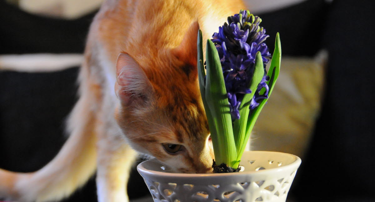 Giftiga växter katt