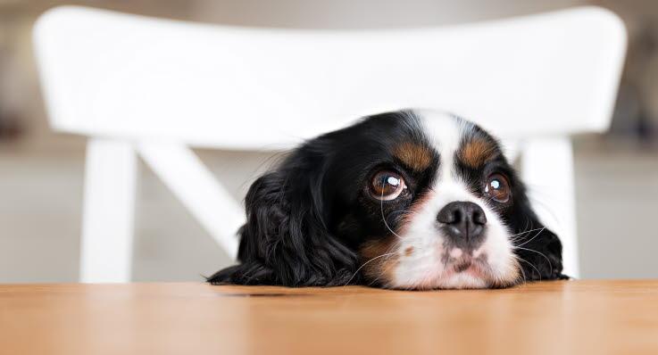 kemisk kastrering hund pris