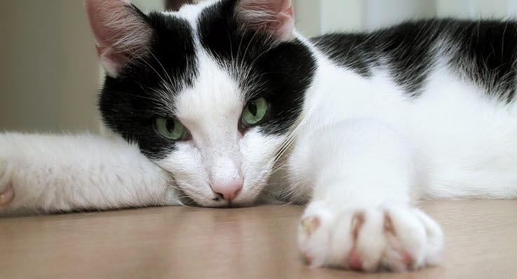 klippa klor katt veterinär