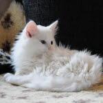 katt håravfall fläckvis