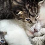 hur länge löper en katt efter parning