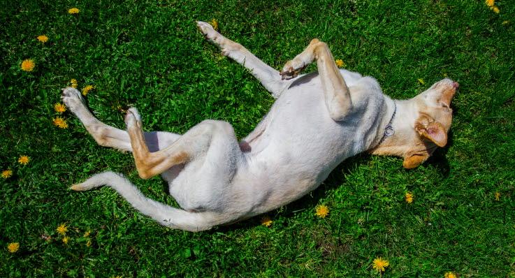 krampanfall hund orsaker