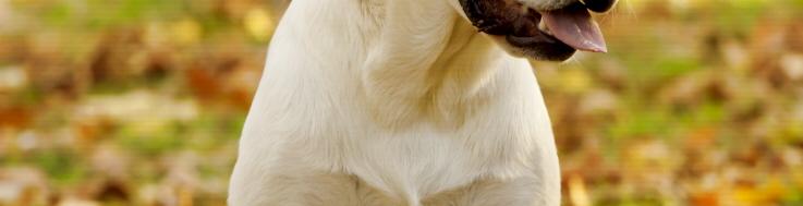 Race chien