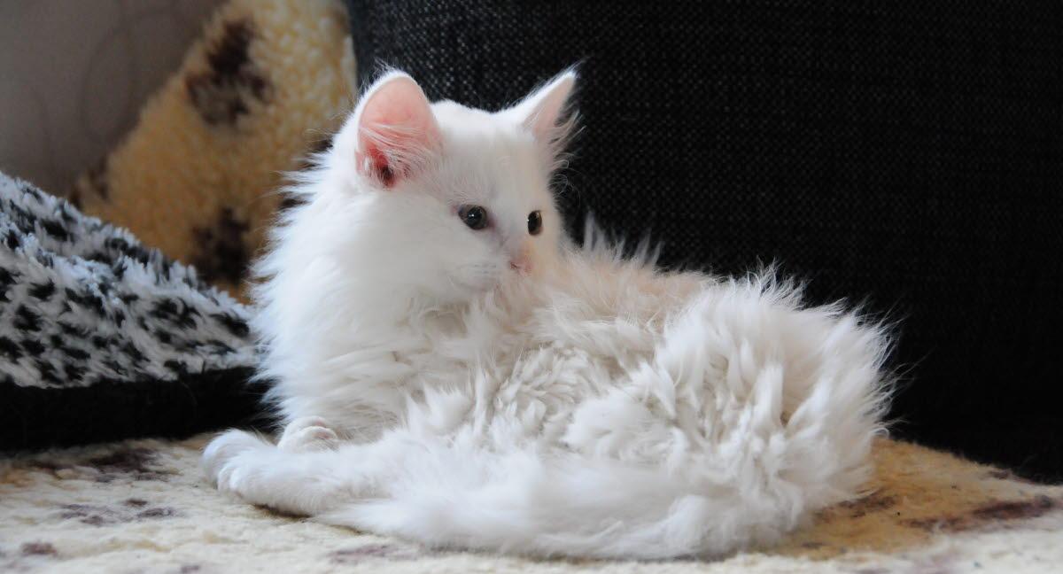 Katt tappar päls