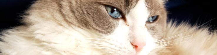 Katt av rasen ragdoll.