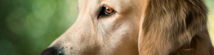 Atopie chien