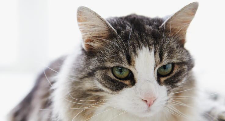 katt diabetes avliva