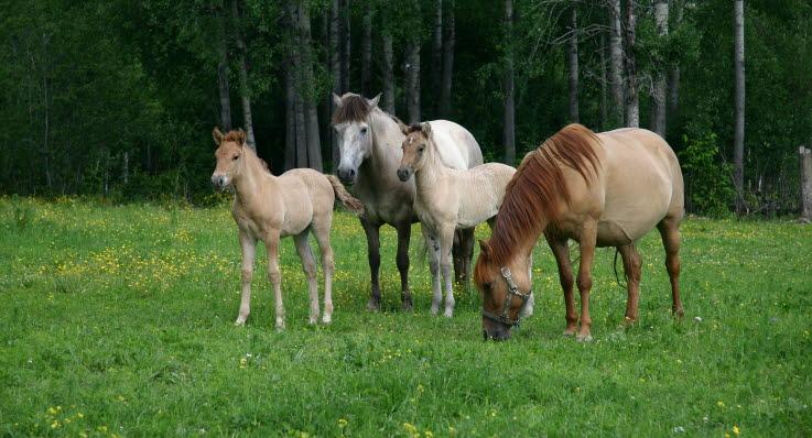korsförlamning häst symtom