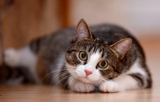 förstoppning katt symptom