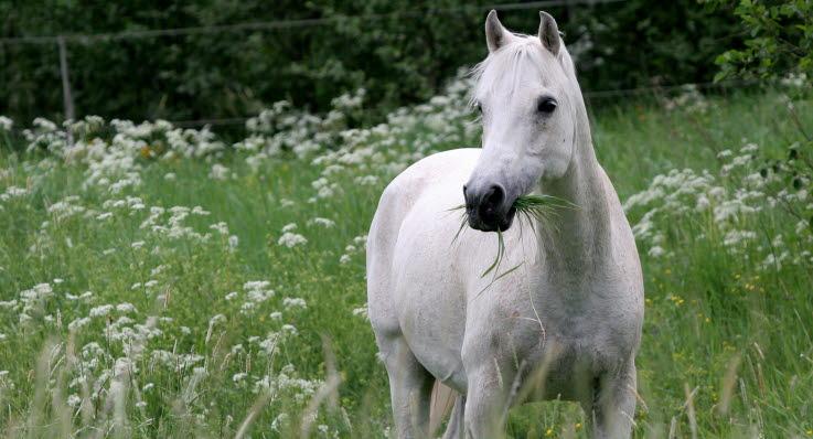 fång hos häst
