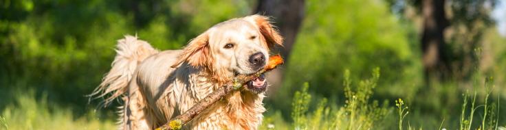 Hund springer med pinne i munnen på sommaräng.