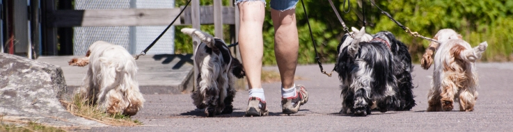 Hunduppfödare på promenad med sina hundar.