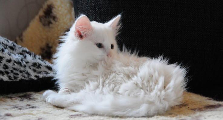 ringorm hos katt