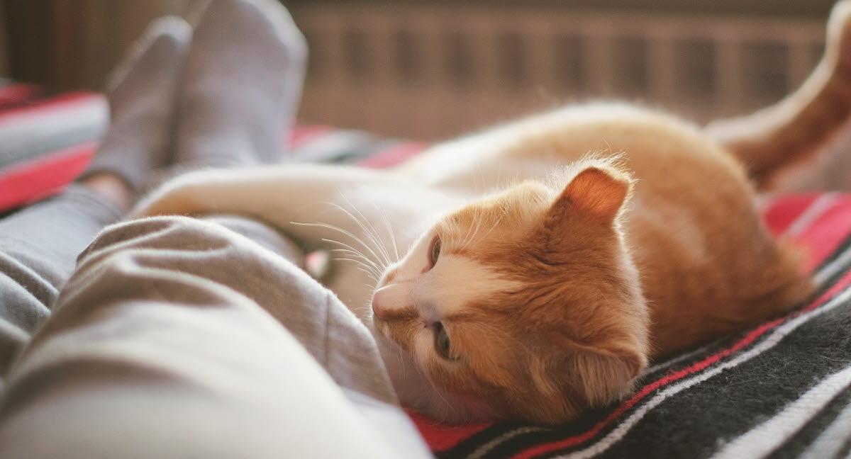 allergivänlig katt säljes