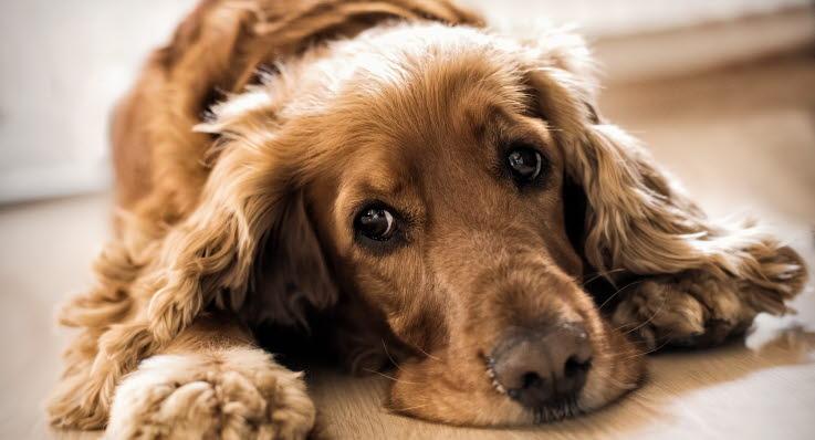 hund med feber symptom
