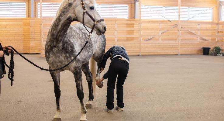 halt häst bakben