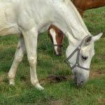 diarre häst hösilage