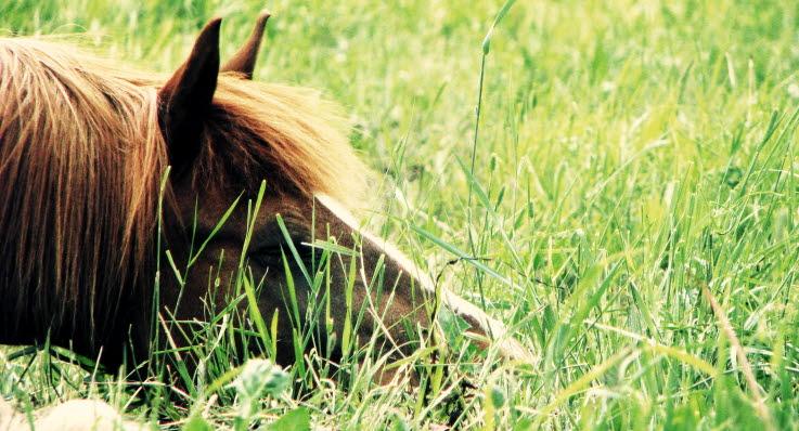 häst som kissar mycket