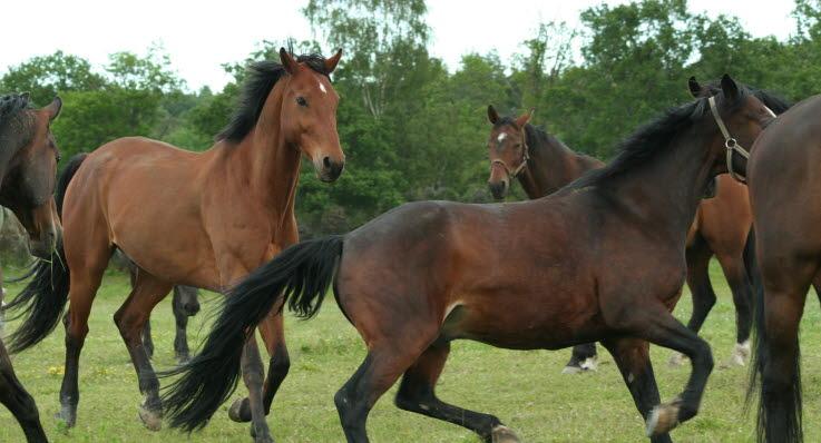 Hur snabbt springer en häst