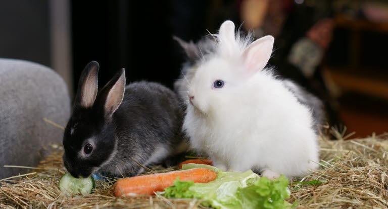 vad ska kaninen äta