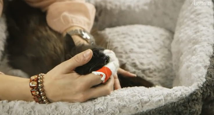 Borsta Tänderna På Din Katt Agria Djurförsäkring