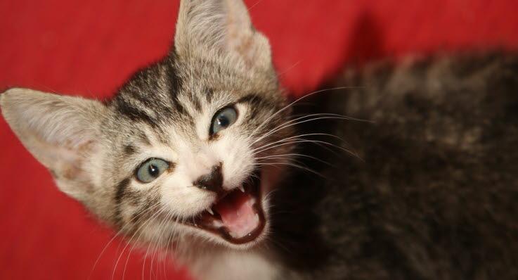 katt som nyser