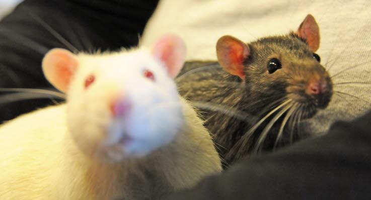 mat till råttor
