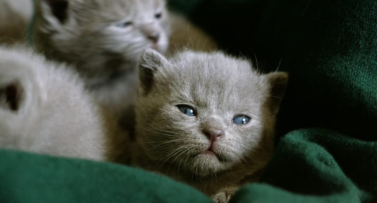 när börjar kattungar äta vanlig mat